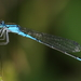 Azure Bluet - Photo (c) Anthony Zukoff, some rights reserved (CC BY-NC-SA)