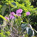 Epidendrum blepharistes - Photo (c) Ty Sharrow, algunos derechos reservados (CC BY-NC-SA)