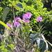 Epidendrum blepharistes - Photo (c) Ty Sharrow, osa oikeuksista pidätetään (CC BY-NC-SA)