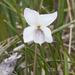 Viola macloskeyi - Photo (c) Bill Bouton, algunos derechos reservados (CC BY-SA)