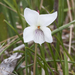 Small White Violet - Photo (c) Bill Bouton, some rights reserved (CC BY-SA)