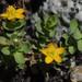 Hypericum anagalloides - Photo (c) Tom Hilton, algunos derechos reservados (CC BY)