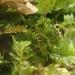 Blepharostoma trichophyllum - Photo (c) Stefan Gey, algunos derechos reservados (CC BY-NC)
