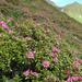 Rhododendron ferrugineum - Photo (c) Paseos por los Alpes 2007, algunos derechos reservados (CC BY-NC-SA)