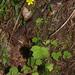 Ranunculus reflexus - Photo (c) Mike Lusk, algunos derechos reservados (CC BY-NC)