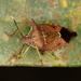 Podisus distinctus - Photo (c) Carlos Alexandre Raposo, algunos derechos reservados (CC BY-NC)