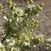 Ambrosia salsola - Photo (c) Jim Morefield, algunos derechos reservados (CC BY)