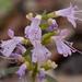 Dicerandra frutescens savannarum - Photo (c) Keith Bradley, alguns direitos reservados (CC BY-NC)