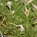 Linanthus caespitosus - Photo (c) Joey Santore, μερικά δικαιώματα διατηρούνται (CC BY-NC)