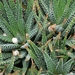 Haworthia attenuata - Photo (c) Photo by David J. Stang, some rights reserved (CC BY-SA)