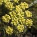 Lomatium utriculatum - Photo (c) Todd Ramsden, algunos derechos reservados (CC BY-NC)