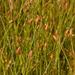 Fimbristylis schoenoides - Photo (c) Keith Bradley, alguns direitos reservados (CC BY-NC)