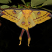 Madagascan Moon Moth - Photo (c) Frank Vassen, some rights reserved (CC BY)