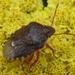 Holcostethus abbreviatus - Photo (c) Pam Piombino, algunos derechos reservados (CC BY-NC)