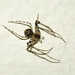 Cannibal Spiders - Photo (c) Steve Lew, some rights reserved (CC BY-NC-SA)