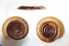 Anisus vortex image