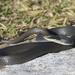 Culebra Chirrionera Constrictora - Photo (c) Josh Vandermeulen, algunos derechos reservados (CC BY-NC-ND)