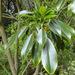 Trochodendron aralioides - Photo (c) Phil Bendle, osa oikeuksista pidätetään (CC BY-NC)