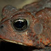 Dwarf American Toad - Photo (c) Josh Vandermeulen, some rights reserved (CC BY-NC-ND)