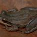 Rana de Coro Occidental - Photo (c) Josh Vandermeulen, algunos derechos reservados (CC BY-NC-ND)