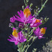 Schizanthus grahamii - Photo (c) Dick Culbert from Gibsons, B.C., Canada, algunos derechos reservados (CC BY)