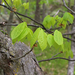 Shagbark Hickory - Photo (c) Jamie Spence, some rights reserved (CC BY-NC)