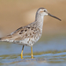 Calidris himantopus - Photo (c) Dan Pancamo,  זכויות יוצרים חלקיות (CC BY-SA)