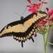 Cometa Bicolor - Photo (c) Detroit Zoo Butterflies, algunos derechos reservados (CC BY-NC-SA)
