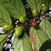 Diospyros eriantha - Photo (c) Young Chan, alguns direitos reservados (CC BY-NC)