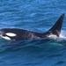 לוויתן קטלן - Photo (c) Jeremy,  זכויות יוצרים חלקיות (CC BY-NC)