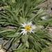 Huarpea andina - Photo (c) marielrb, μερικά δικαιώματα διατηρούνται (CC BY-NC)