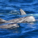 Risso's Dolphin - Photo (c) Christian Schwarz, some rights reserved (CC BY-NC)