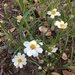 Blackfoot Daisy - Photo (c) Matthew Allen, some rights reserved (CC BY-NC)