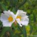 Cistus monspeliensis - Photo (c) Valter Jacinto,  זכויות יוצרים חלקיות (CC BY-NC-SA)