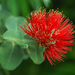 'Ohi'a Lehua - Photo (c) Eric in SF, some rights reserved (CC BY-NC-ND)