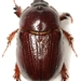 Tomarus gibbosus - Photo (c) Mike Quinn, Austin, TX, algunos derechos reservados (CC BY-NC)
