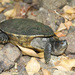 Puerto Rican Slider - Photo (c) Museum of Comparative Zoology, Harvard University, some rights reserved (CC BY-NC-SA)