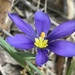 Sword-leaf Blue-eyed Grass - Photo (c) Laura Clark, some rights reserved (CC BY)