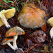 Pungent Slippery Jack - Photo (c) Christian Schwarz, some rights reserved (CC BY-NC)