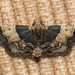 Painted Meal Moth - Photo (c) Vijay Anand Ismavel, some rights reserved (CC BY-NC-SA), uploaded by Dr. Vijay Anand Ismavel MS MCh