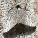 Tronadora Caribeña - Photo (c) ronsavage, algunos derechos reservados (CC BY-ND), uploaded by Ron Savage