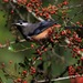 White-eared Sibia - Photo (c) Fu Cheng, some rights reserved (CC BY-NC)