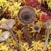 Arrhenia sphagnicola - Photo (c) Warren Cardimona, algunos derechos reservados (CC BY-NC)