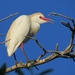 Cattle Egret - Photo (c) Annika Lindqvist, some rights reserved (CC BY)
