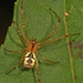 Pityohyphantes - Photo (c) Judy Gallagher, algunos derechos reservados (CC BY)