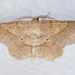 Euchlaena pectinaria - Photo (c) Diane P. Brooks, algunos derechos reservados (CC BY-NC-SA)