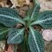 Goodyera pubescens - Photo (c) Distant Hill Gardens, algunos derechos reservados (CC BY-NC-ND)