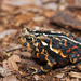 Hudson Bay American Toad - Photo (c) Josh Vandermeulen, some rights reserved (CC BY-NC-ND)