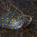 Spotted Turtle - Photo (c) Josh Vandermeulen, some rights reserved (CC BY-NC-ND)