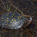 Tortuga Moteada de Norteamerica - Photo (c) Josh Vandermeulen, algunos derechos reservados (CC BY-NC-ND)
